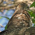 Coopers hawk by Anthony Goldman