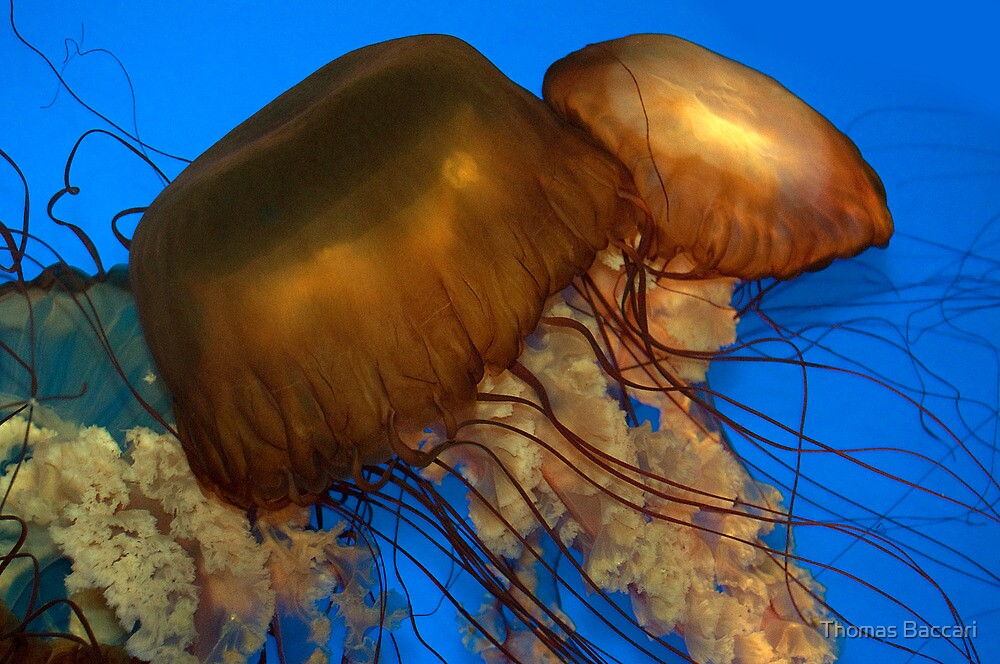 Two Jelly Fish by TJ Baccari Photography