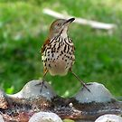 Brown Thrasher (Toxostoma rufum) by Kyle Wolff