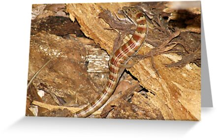 Madrean Alligator Lizard by Kimberly Chadwick