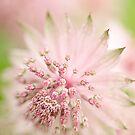 Pink Astrantia by Beth Mason