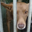 Padre, an abandoned podenco mix by KanaShow