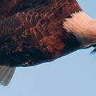"""Streamlined"" - bald eagle flying panaramic by ArtThatSmiles"
