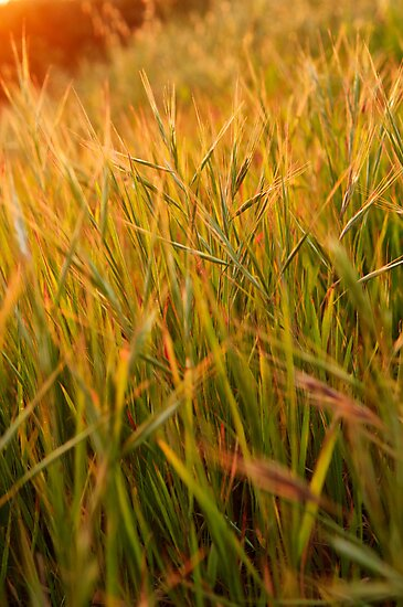 grass at sunset by Flux Photography