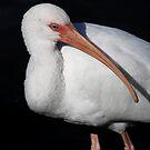 Ibis Pose by Deborah  Benoit