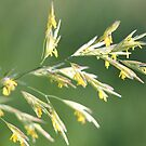 Flowering Brome Grass by JMcCombie