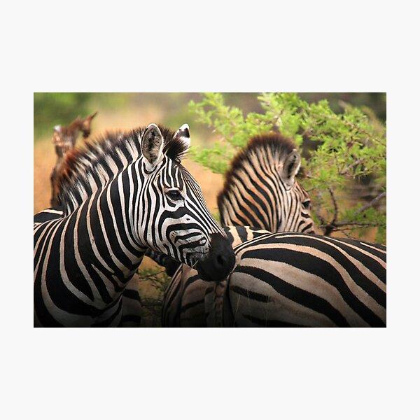 Mkuzi Zebras Photographic Print
