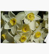 Daffodil Garden Poster
