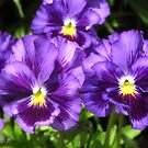 Pansy from the Chalon Supreme Primed Mix by JMcCombie