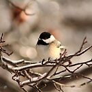 Black-Capped Chickadee After the Ice Storm by JMcCombie