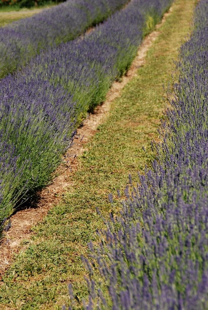 Lavender Field by Deborah Singer