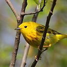 Yellow Warbler by naturalnomad