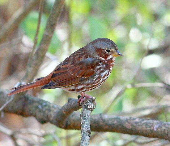 Fox Sparrow by Enola Wagner