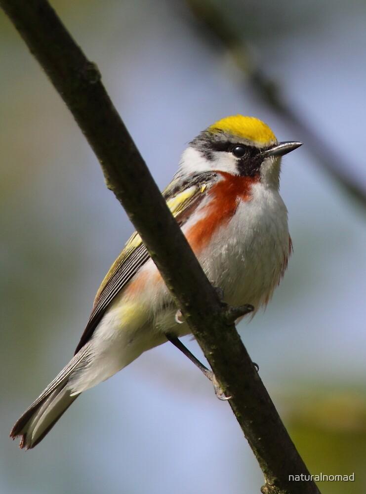Chestnut-sided Warbler by naturalnomad
