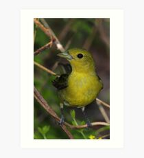 Scarlet Tanager Female Art Print