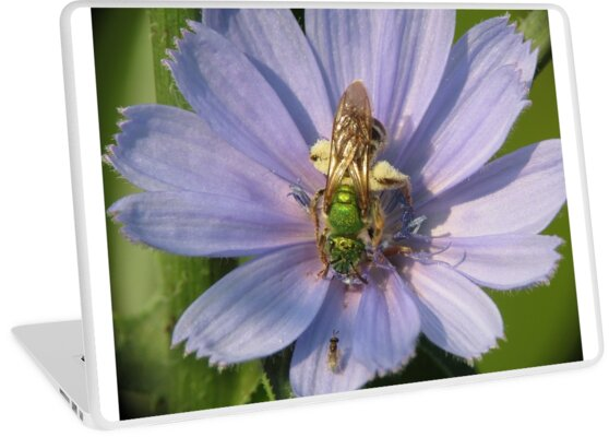 Green Metalic Bee and A Wee Friend on Chickory Flower by Ron Russell