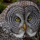 WILD Great Gray Owl Portrait by kurtbowmanphoto