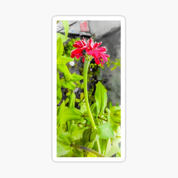 Pink vibrant Zinnia flower  Sticker