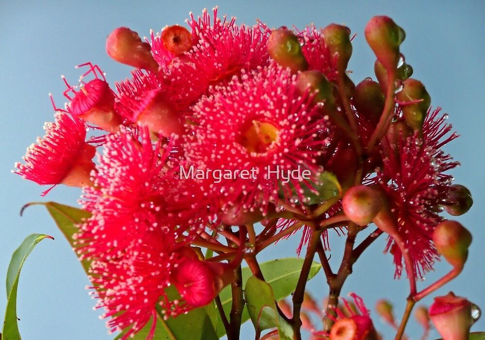 "Eucalyptus ""Summer Red"" (2) by Margaret  Hyde"