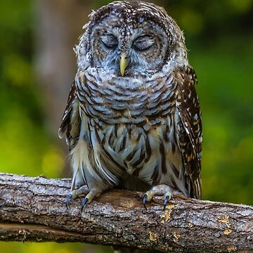 Willow the tired Barred Owl by leonherbert