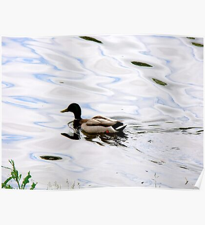 Duck on the Water Poster