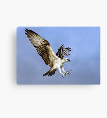 Osprey (Pandion haliaetus) Canvas Print