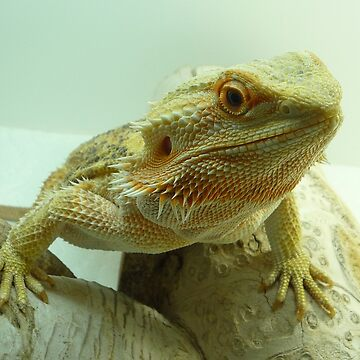 Bearded Dragon by Gulreth