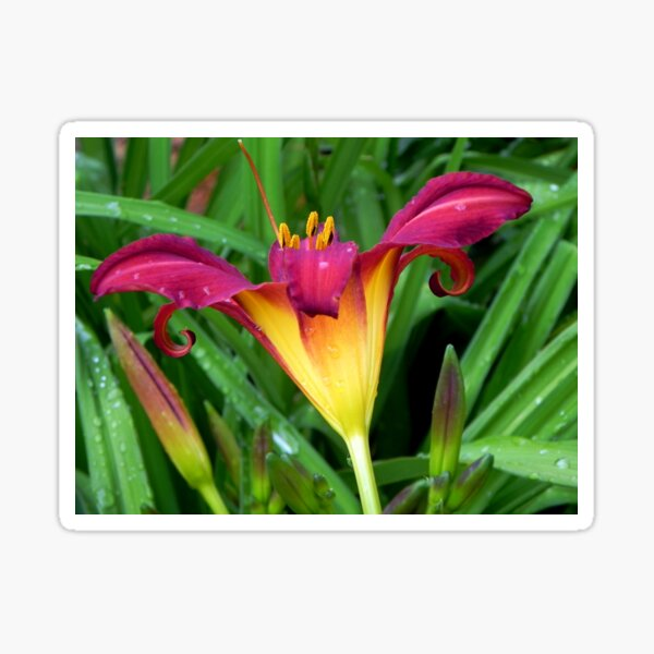 A Pretty Lily!!! © Sticker
