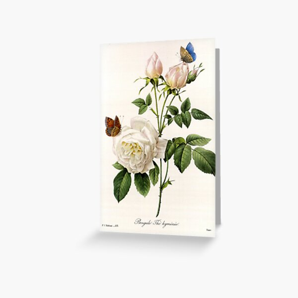 Vintage botanical illustration by P.J. Redoute. White rose flowers and butterflies. Greeting Card