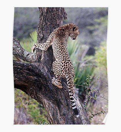 Cheetah Up Tree Poster