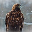 Golden Eagle in the Snow by Wanda Staples