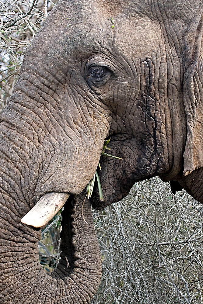 Bull Elephant In Musth by Michael  Moss
