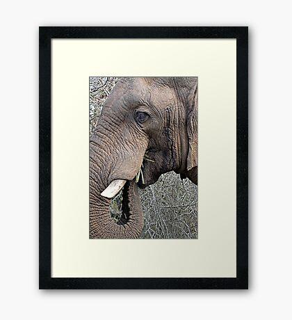 Bull Elephant In Musth Framed Print