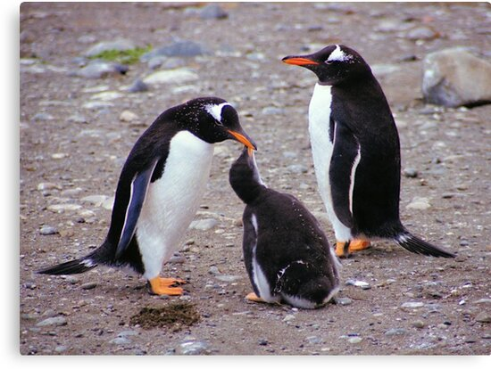 Gentoo Penguin Family Feeding Chick by Carole-Anne
