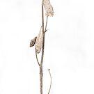 Winter Milkweed by Michael  Dreese
