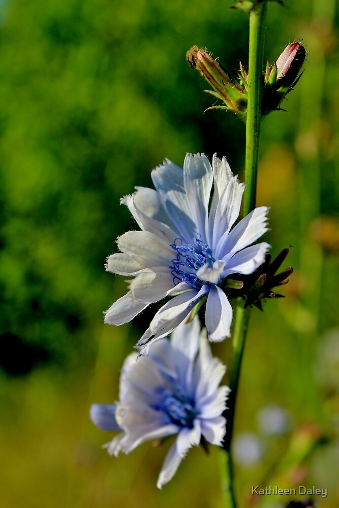 Common Chicory II by Kathleen Daley