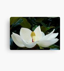 Magnolia.... Canvas Print