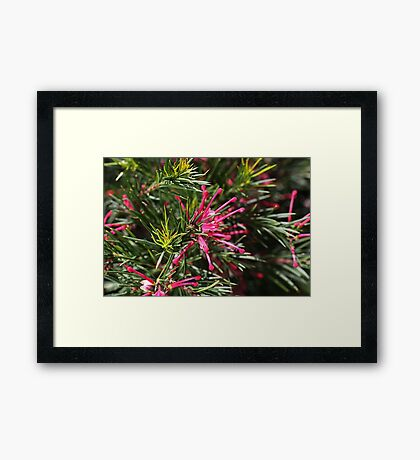 Small Pink Grevellea Flower Framed Print