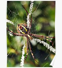 St Andrew's Cross Spider (Argiope keyserlingi) Poster