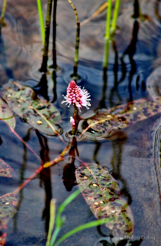 Longroot Smartweed by Kathleen Daley
