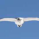 Laughing gull in flight by Anthony Goldman
