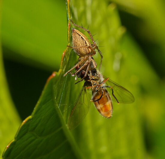 Spider Eating Fly by Angus Kennedy