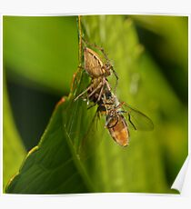 Spider Eating Fly Poster