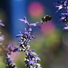 Bumble bee in mid flight by Roger Wain