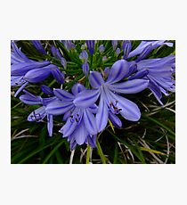 African lily, Agapanthus africanus Photographic Print