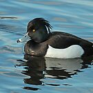 Tufted Duck - Drake by Robert Abraham