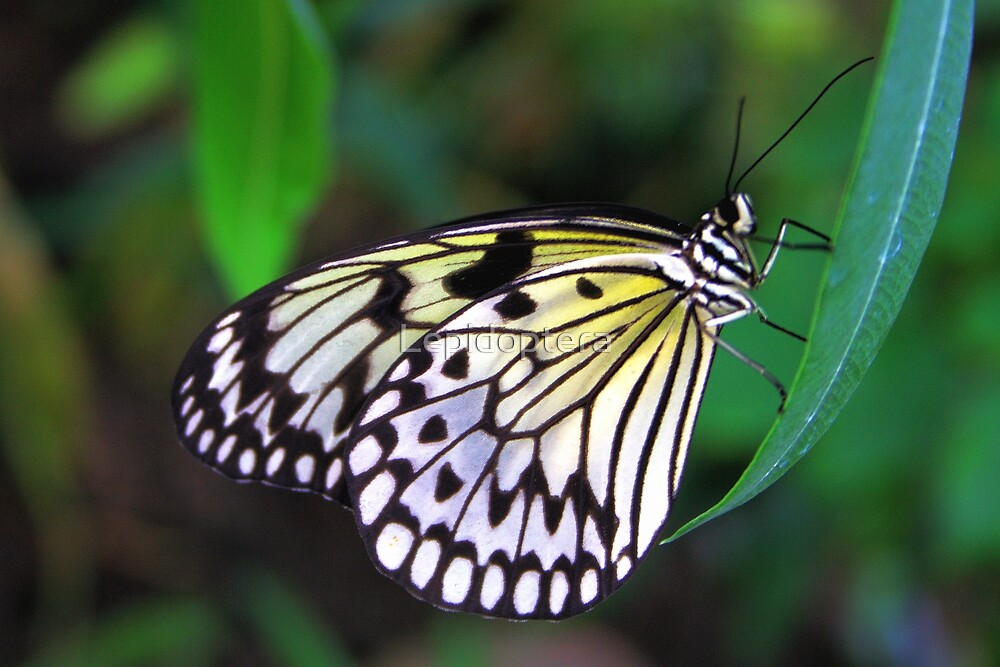 Paper Kite - Idea leuconoe by Lepidoptera