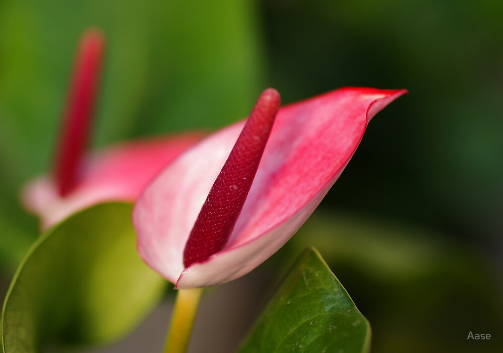 Calla Pink by Aase