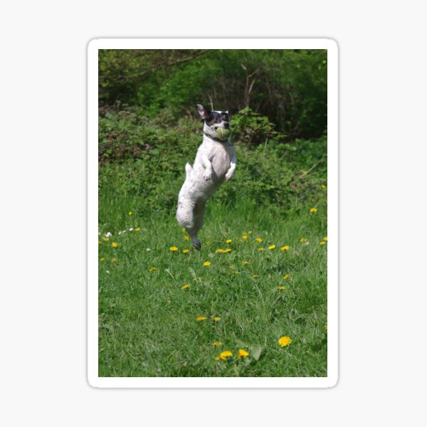 Jack Russell jumping for ball Sticker