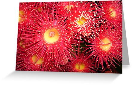 P3 Red Flowering Gum by Sue McPhan